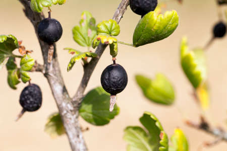 decompose: photographed close-up of black currant berries on a bush, which have dried up, small depth of field
