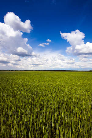 Agricultural field on which wheat grows young. On the edge of the field is growing forest. Stock Photo