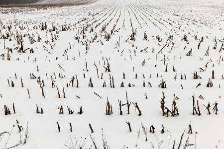 grizzle: farm field photographed in winter, covered with snow from under the visible remnants of the maize plants after harvest