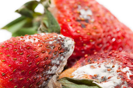 photographed red ripe strawberries, covered with white mold, spoiled strawberries closeup