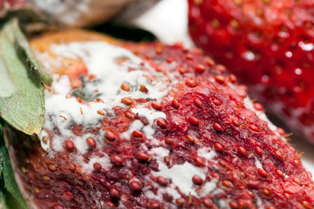 carious: photographed red ripe strawberries, covered with white mold, spoiled strawberries closeup