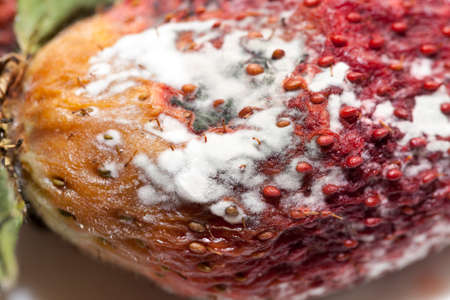 mustiness: photographed red ripe strawberries, covered with white mold, spoiled strawberries closeup