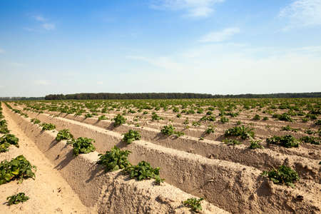square root: Agricultural field on which grow potatoes, potato furrows