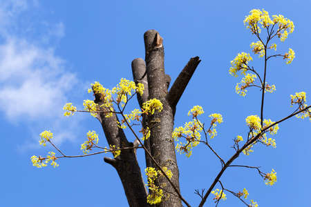 photographed close-up of maple flowers, green, spring times during the year, blue sky