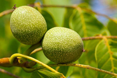 potherb: photographed close up of a green unripe walnut hanging on a tree