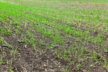 Fotografiados plantas de hierba cierre para arriba jóvenes de trigo verde que crece en el campo agrícola, agricultura, desenfoque Foto de archivo - 60920310