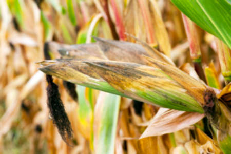 agricultural field, which is ready for harvest ripe corn, close-up photos, Defocus Stock Photo