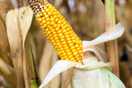 yellowing: agricultural field where crops harvested mature corn yellowing, defocus