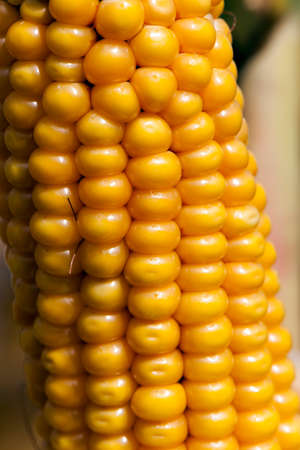 Agricultural field on which photographed mature yellowed corn, close up, natural foods Stock Photo