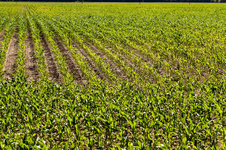 puerile: agricultural field, which is growing young green corn. immature corn