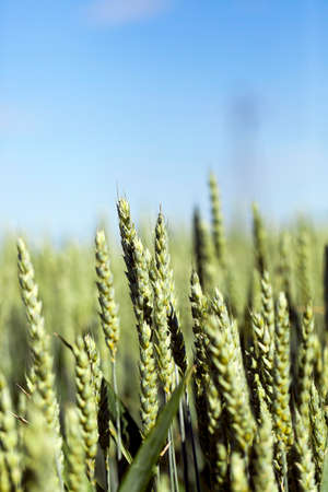 barley head: photographed close up unripe green ears of wheat. agriculture, field, shallow depth of field