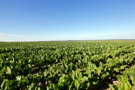 the agricultural field on which grows green beets for sugar production Stock Photo