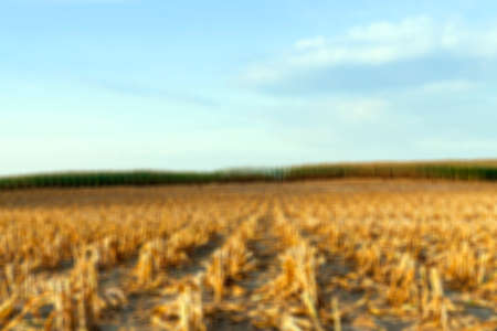 beveled: agricultural field, which collected mature corn crop, beveled stems plant closeup defocus