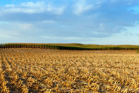 agricultural field, which collected mature corn crop, beveled yellowed stalks of a plant close up, the autumn season, blue sky, Stock Photo