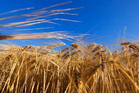 Agricultural field on which grow up cereals wheat, Belarus, ripe and yellowed cereals, small depth of field Stock Photo