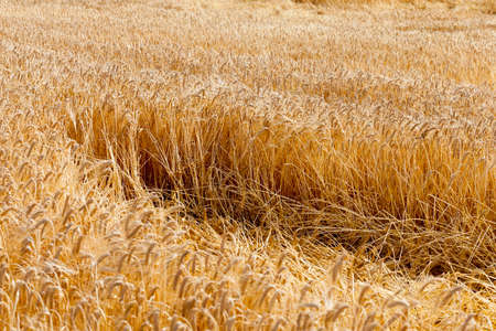 beardless: agricultural field where after a storm is on the ground ripe yellow wheat Stock Photo
