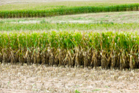 an agricultural field which started to harvest the ripe corn, autumn season, defocused Stock Photo