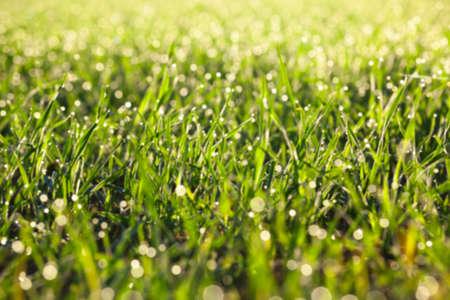 siembra: fotografiados plantas de hierba cierre para arriba jóvenes de trigo verde que crece en el campo agrícola, agricultura, desenfoque Foto de archivo