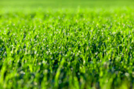photographed close up young grass plants green wheat growing on agricultural field, agriculture, defocus