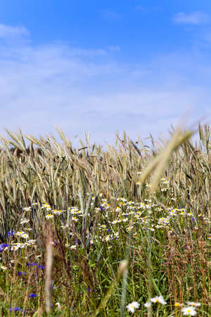 plantlife: daisy growing in the agricultural field on which grow up cereals Stock Photo