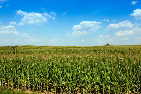 palate: agricultural field with green immature corn, blue sky