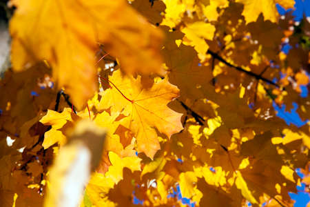wizened: photographed close-up of yellowed in the autumn, the maple leaf, autumn season, a small depth of field Stock Photo