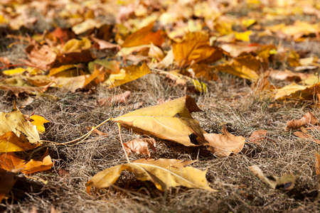 yellowing: yellowing leaves on the trees growing in the city park, autumn season, a small DOF,