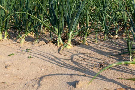defects: Agricultural field on which grow up green onions, summer, August. onion with different defects Stock Photo