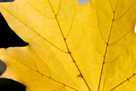 field maple: photographed close-up of yellowed in the autumn, the maple leaf, autumn season, a small depth of field Stock Photo