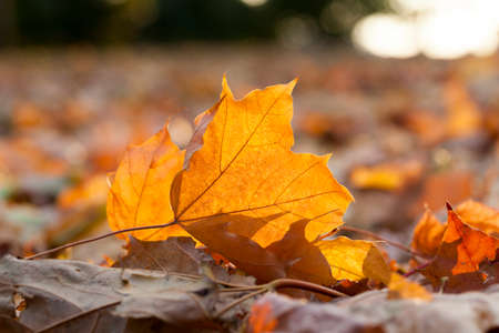 photographed close up lying on the ground fallen leaves yellow, autumn season, a small depth of field Stock Photo