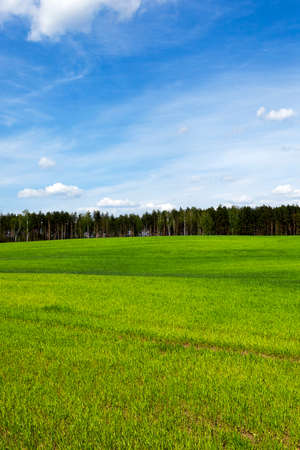 upland: the agricultural field, which grew green grass sprouts. wheat. Spring. upland Stock Photo