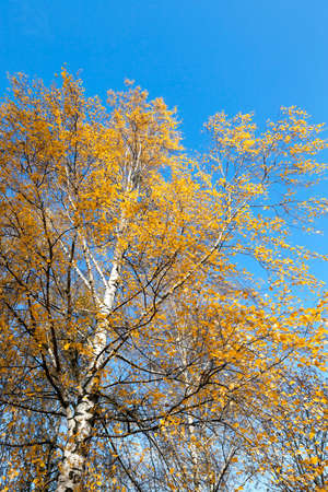 birchen: photographed close-up of yellow leaves on the top of a birch tree in autumn season