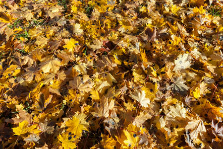 frondage: photographed close-up of yellowed and fell to the ground leaves of the trees, a small depth of field,