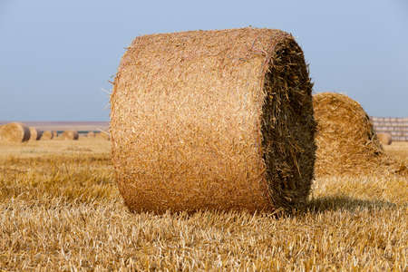 an agricultural field on which are laid out straw haystacks after the harvest of cereals, wheat Stock Photo