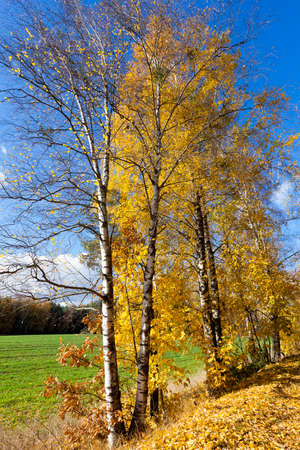 birchen: photographed close-up of yellow leaves on the birch tree in autumn season