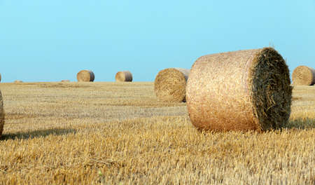 cultivo de trigo: Campo agrícola en el cual cosecha de trigo recogida en el verano Foto de archivo