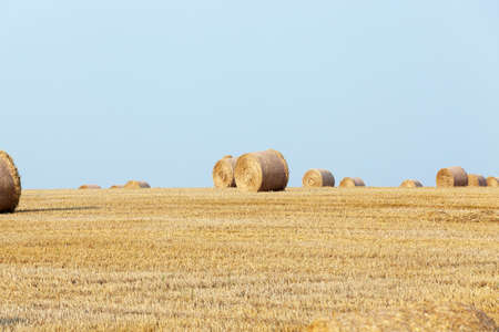 harvests: Agricultural field on which stacked straw haystacks after the wheat harvests