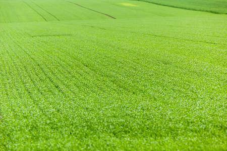 defocus: agricultural field, which grows wheat immature green, Defocus
