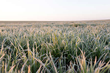 sheeted: photographed close-up of green plant young wheat in the morning after a frost, a small depth of field