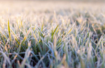 sheeted: photographed close-up of green plant young wheat in the morning after a frost, defocused Stock Photo