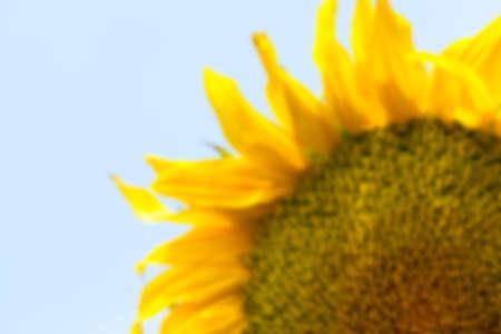 defocus: photographed close-up of yellow flower sunflower summer season, Defocus