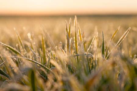 Fotografiados plantas de hierba cierre para arriba jóvenes de trigo verde que crece en el campo agrícola, la agricultura, las heladas por la mañana en las hojas, desenfoque Foto de archivo - 60919797
