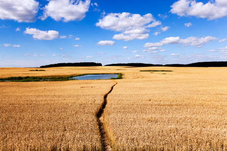 trampled: people trampled path passing through an agricultural field with rye