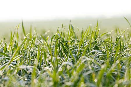 Fotografiados plantas de hierba cierre para arriba jóvenes de trigo verde que crece en el campo agrícola, agricultura, rocío de la mañana en las hojas, Foto de archivo - 60921005