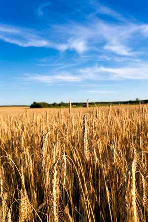 grained: Agricultural field on which grow ripe rye. Stock Photo