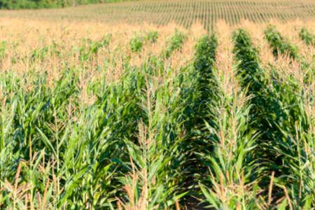 defocus: unripe green corn growing in the agricultural field, defocus