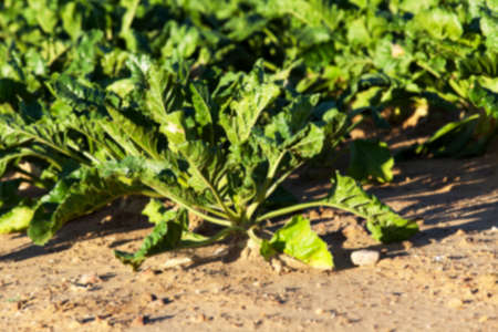 agro: green leaves beetroot growing in an agricultural field, close-up, defocused Stock Photo