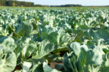 defocus: Agricultural field on which grow green immature cabbage, Defocus