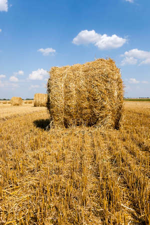 hayrick: piled in the agricultural field haystacks straw. cereals. summer Stock Photo
