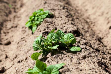 furrow: furrow plowed land on which grow potatoes. close up, spring season Stock Photo